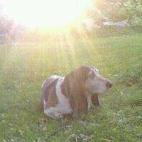 Burt, a Basset Hound, lying in the yard in the sun.