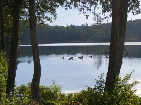 Loons on a lake.