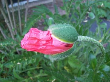 Poppy Flower (Upstate NY)