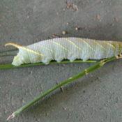 Lunar Moth Larvae