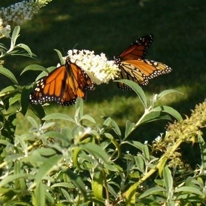 Butterfly Bush Not Leaving Out