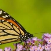 Winterizing a Butterfly Bush