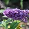 Transplanting a Butterfly Bush