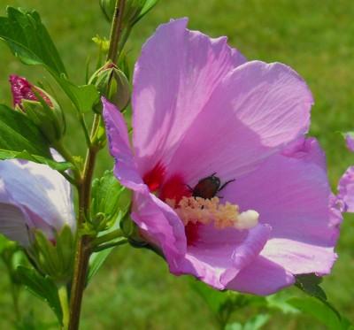 beetle inside flower