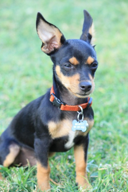Black and tan small dog, with stand up ears.