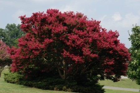 Growing A Crepe Myrtle Tree Thriftyfun