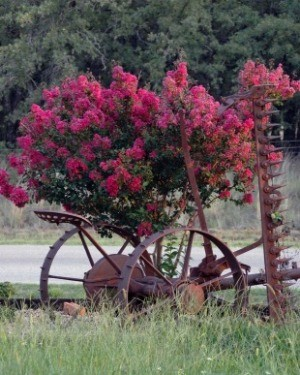 Growing a Crepe Myrtle Tree