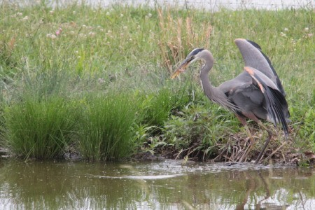 A blue heron right after catching a fish