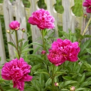 Plant and Grow Peonies