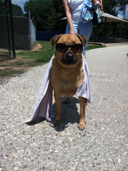Brown dog in sunglasses.