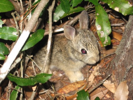 Bunny in the bushes.