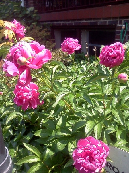 Pink peonies in bloom.