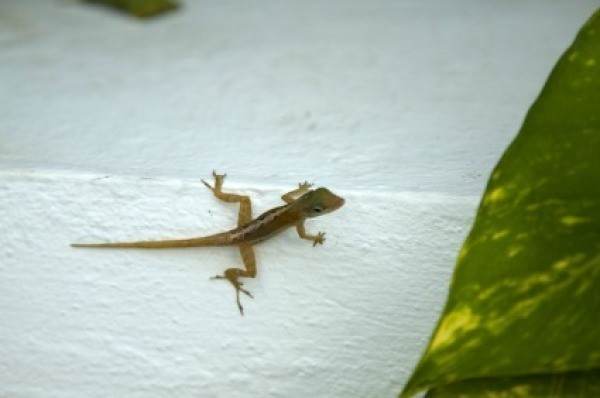 Natural Repellents For Lizards Thriftyfun