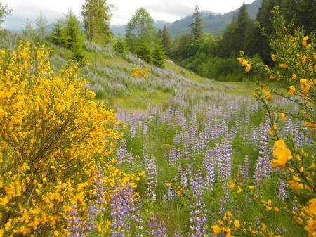 Lupine and Scotch broom in the mountains.