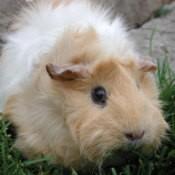 White and tan Guinea Pig.