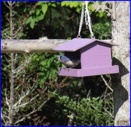 Blue Jay (Roan Mountain, TN)
