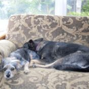 Shorty (Dorkie) and Bella (Shepherd Mix) sleeping on the couch