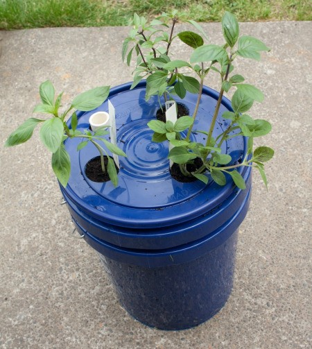 Self Watering Planter With Basil