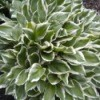 Garden: Hostas