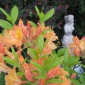 Azaleas in garden.