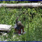 Squirrel on bird feeder.