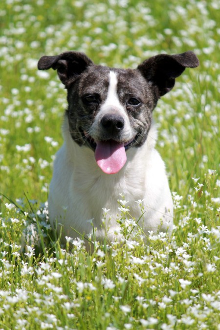 Black and white terrier in flowers.