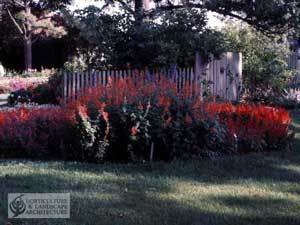 Growing Salvia