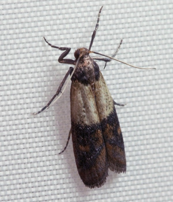 Merveilleux Whether Indianmeal Or North American High Flyer Moths Have Invaded Your  Kitchen, They Can Be A Persistent Pest. This Guide Is About Getting Rid Of  Pantry ...