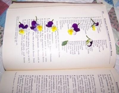 Pansies being pressed in a large book