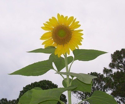 Photo of a large sunflower.