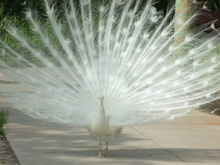 A white peacock with his tail displayed.