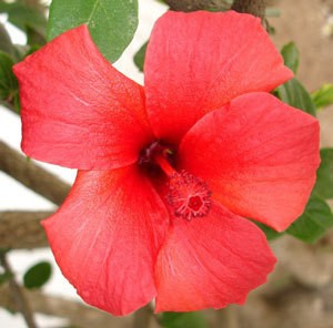Growing Hibiscus