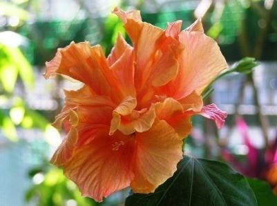 Growing Hibiscus Plants Thriftyfun