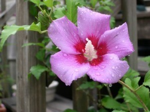 Transplanting a Hibiscus