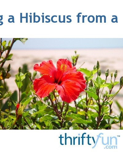 Starting A Hibiscus From A Cutting Thriftyfun