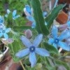 Blue star shaped flowers.