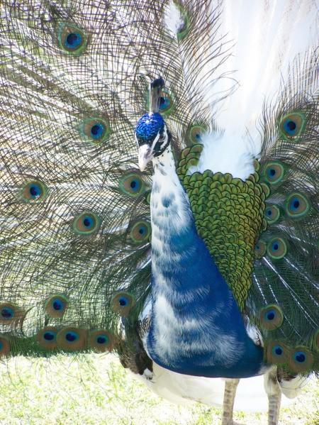 Yellowstone's Bear World peacock displaying his finery.