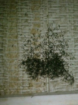 Identifying Small Black Bugs Thriftyfun