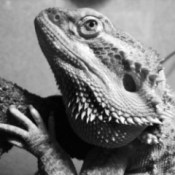 Lucifer (Bearded Dragon)