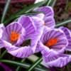Three purple crocus flowers.
