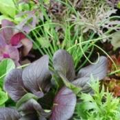 Gourmet Salad Garden