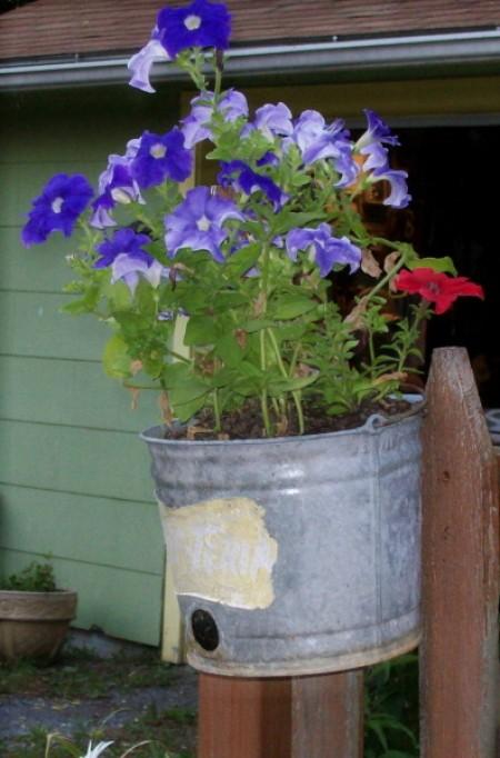 Petunias in galvanized calf feeding pail.