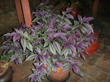 Plant with green and purple leaves.