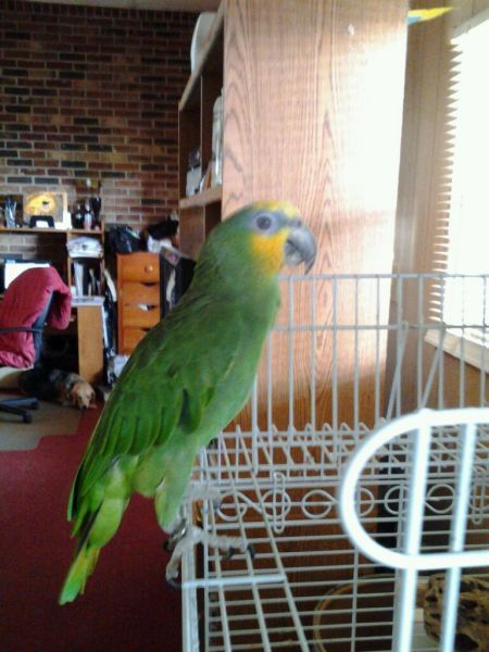 Parrot sitting on white wire shelving.