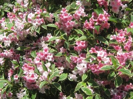 Flowering pink wegelia.