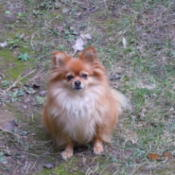 Cute red Pom Chi sitting in the lawn.