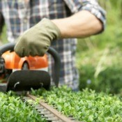 Man Trimming Hedge With Power Hedge Trimmer