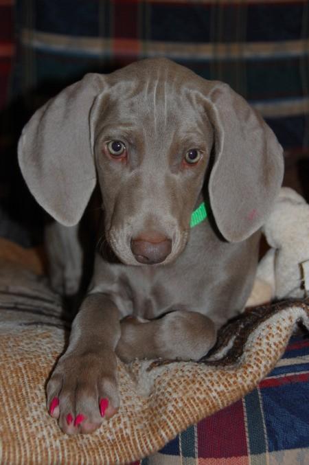 Weimaraner puppy, with pink toenails.