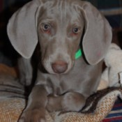 Weimaraner puppy, with pink toenails.