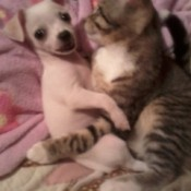 Chihuahua and cat.